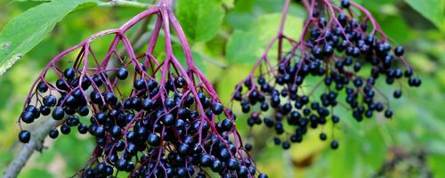 Elderberry, herbal remedy
