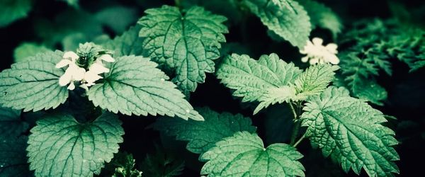 Stinging nettle, the herbal tea for health and beauty