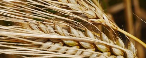 Barley, a small cereal grain with great benefits
