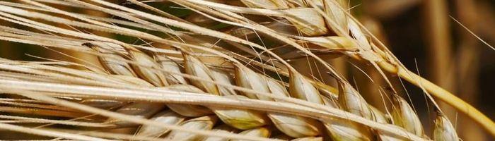 Orzo, un piccolo cereale dai grandi benefici