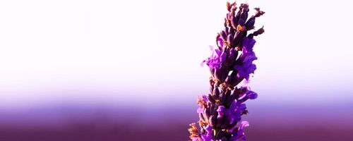 Lavender essential oil, the essence that you should always have with you