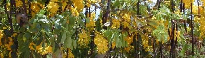 Cassia in canna
