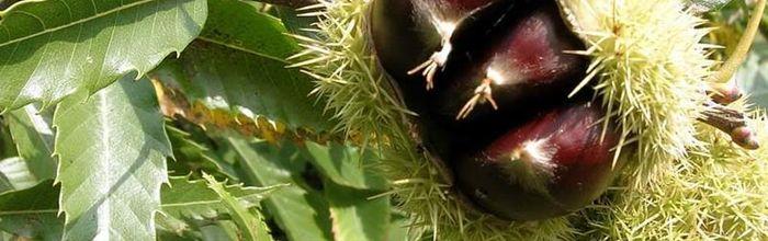 Chestnut, glycerin macerate