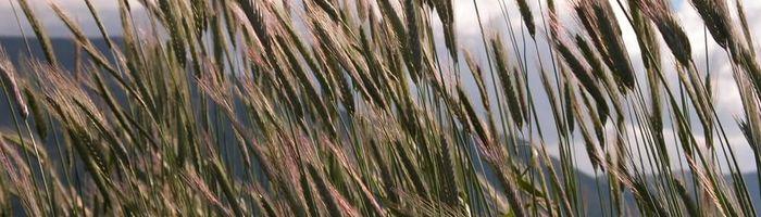 Rye, herbal remedy