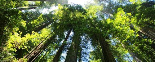 Riesen Sequoia, Kräutermedizin