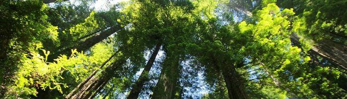 Giant Sequoia, herbal medicine