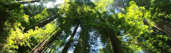Sequoia, erboristeria