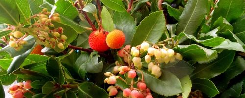 Strawberry tree honey