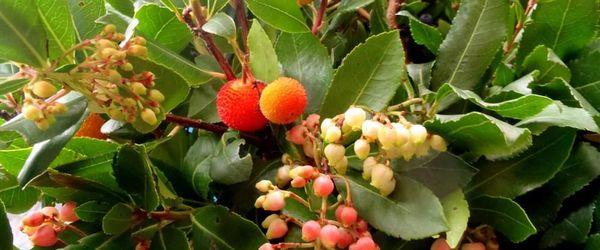 Erdbeerbaum Honig