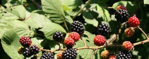 Rubus fructicosus