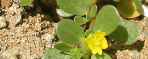 Portulaca (common purslane)