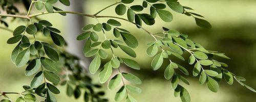 Moringa, der Wunderbaum