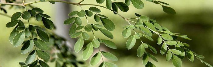 Moringa, the miracle tree