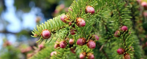 Norway spruce resin