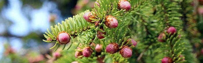 Norway spruce resin