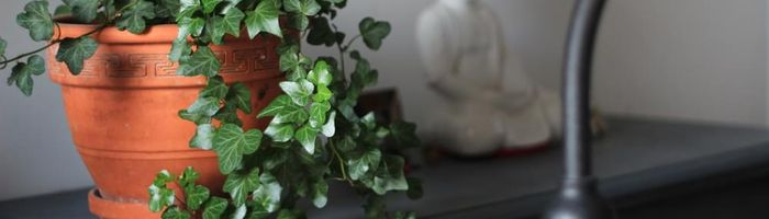 Anti-pollution plants, Hedera helix