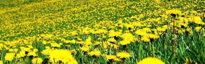 Dandelion, herbal medicine