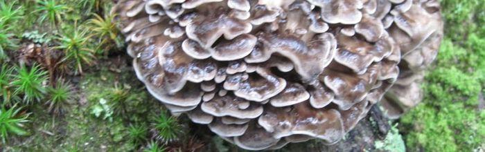 Funghi maitake