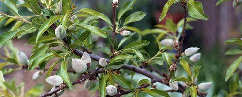 Prunus amygdalus (mandorlo)