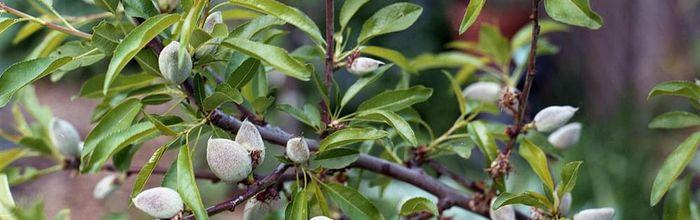 Prunus amygdalus (almond)