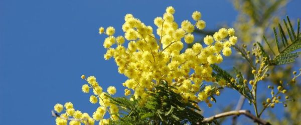 Mimosa essential oil