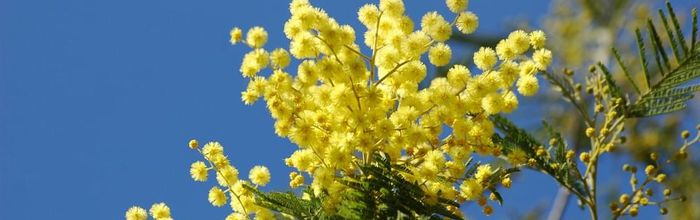 Olio essenziale di mimosa
