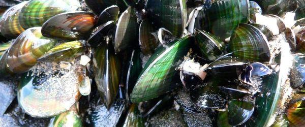 New Zealand green lipped mussel