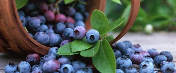 Bilberry (fruit)