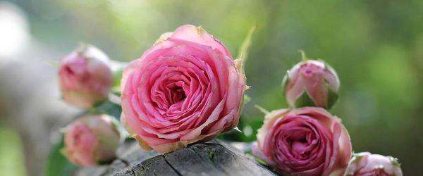 Cosmetici naturali, come re e regine Parte 44, la leggenda di re Laurino e del Giardino delle Rose
