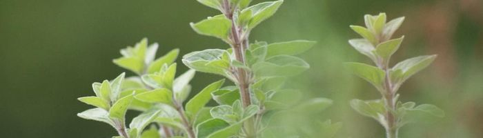 Oregano, properties and uses in the kitchen