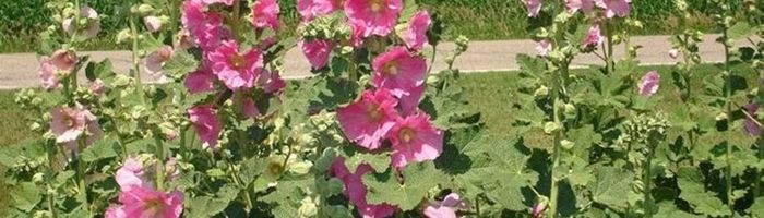 Althaea (marsh mallow)