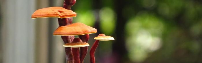 Reishi, the mushroom of immortality that improves breathing