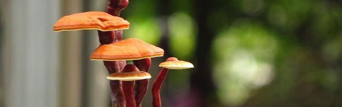 Reishi, il fungo dell'immortalità che migliora la respirazione