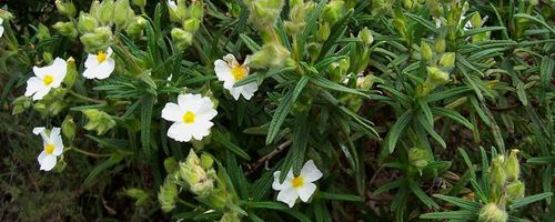 Cistus essential oil