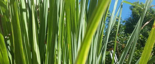 Olio essenziale di lemongrass