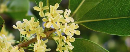 Osmanthus essential oil