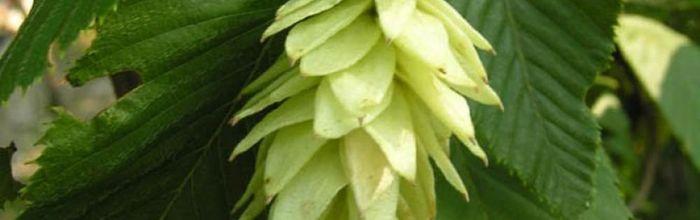 Common hornbeam, plant