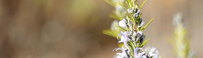 How to make rosemary oil, properties and uses for the hair health